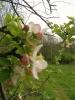 Apfelblüten - 2005
