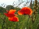 Mohnblüten am Feldrain - 2005